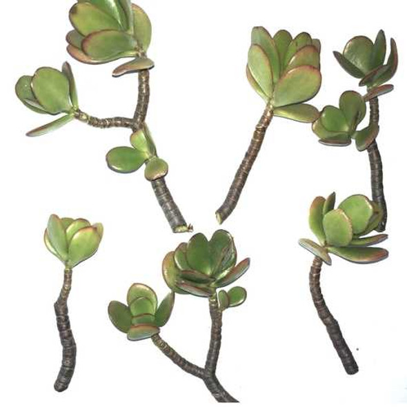 6-Pack of Jade Succulent Plant Cuttings - Easy to Root