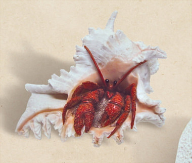 Sea Shell Hermit Crab Decoration