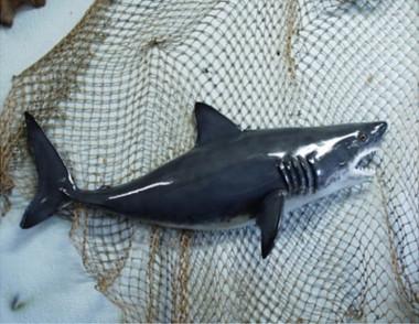 Model Great White Shark Mount 41 x 18