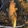 Rising Lunker 24 Fly Fishing Net