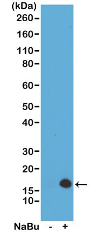 13-0034 Western Blot data