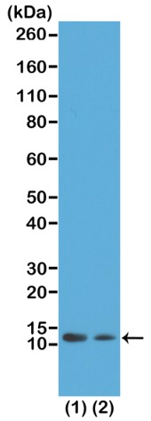 13-0037 Western Blot data