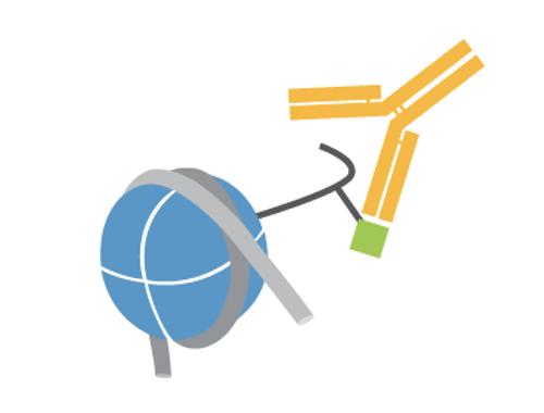 Histone H3 C-terminal Antibody
