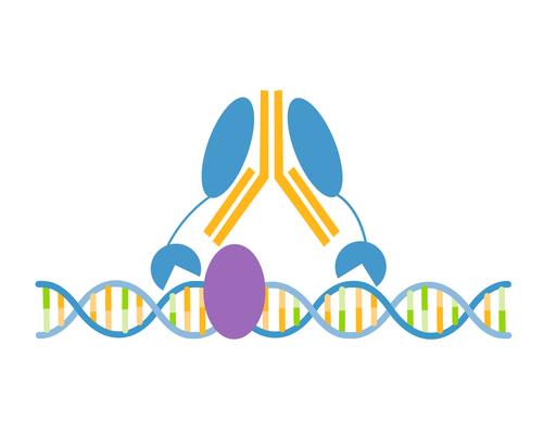 FOXA1/HNF3A CUTANA™ CUT&RUN Antibody