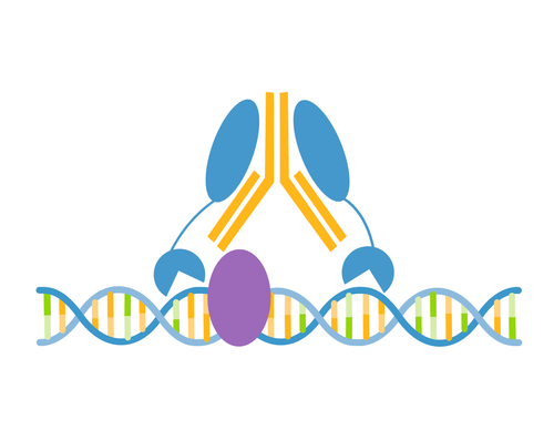BRG1/SMARCA4 CUTANA™ CUT&RUN Antibody