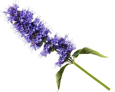 dendrobium-orchids-herbal-supplement-ingredient.jpg