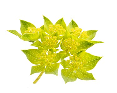 schisandra-chinensi-herbal-supplement-ingredient.jpg