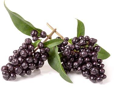 ligustrum-berry-herbal-supplement-ingredient.jpg