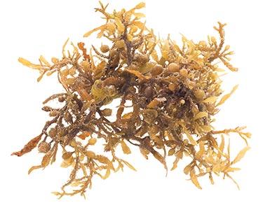 radix-angelicae-sinensis-herbal-supplement-ingredient.jpg