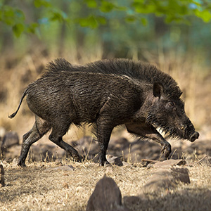 boar-in-forest-sq300.jpg