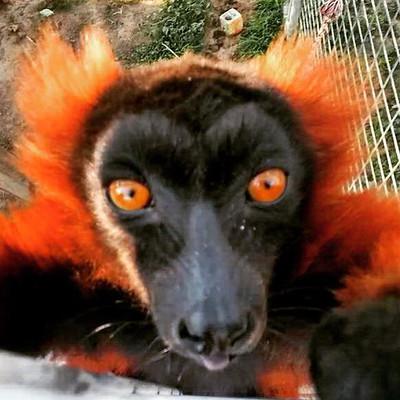 All About Lemurs