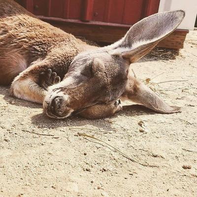 The Kangaroo Birthing Cycle