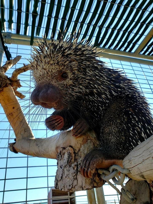 Jr. Zookeeper in October is all about our playful Porcupines and Pals!