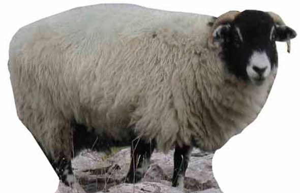 Sheep - Lifesize Cardboard Cutout / Standee