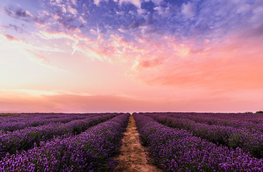 The Benefits of Incorporating Lavender Into Your Life