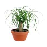 """7"""" Ponytail Palm in Clay"""
