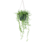"""6"""" String of Dolphin Hanging Basket at Colasanti's Tropical Gardens"""