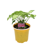 """Nephthytis Butterfly Plant, 4"""" Tropical"""