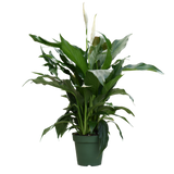 """4"""" Peace Lily"""
