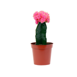 """3.25"""" Grafted Moon Cactus"""