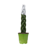 "4"" Cylindrica Braid Sansevieria with Colourful Velvet Tips"
