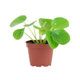 Pilea Peperomioides, Tropical Plant