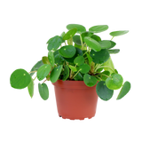 Pilea Peperomioides Tropical Plant