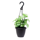 White Butterfly Nephthytis Hanging Basket, Tropical Plant