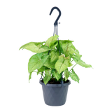 Strawberry Butterfly Nephthytis Hanging Basket, Tropical Plant