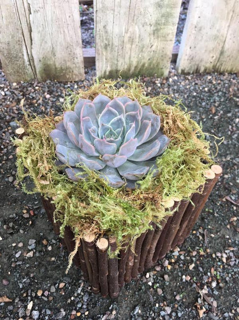One Succulent in Willow Box