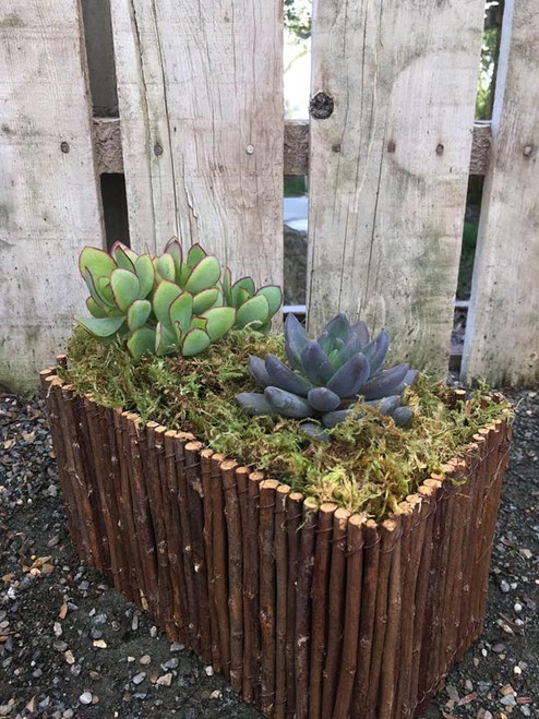 Two Succulents in Willow Box