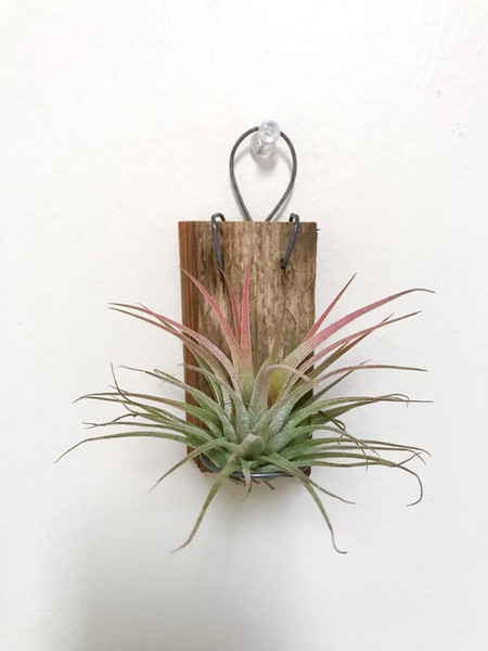 Air Plant Mount