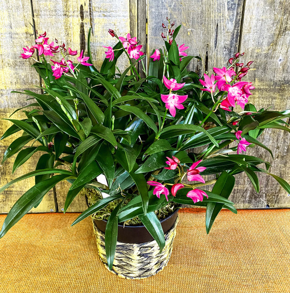 Large Orchid