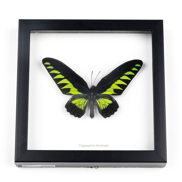 "Framed Butterfly Specimen - 7x7"" Black Frame, Trogonoptera brookiana"