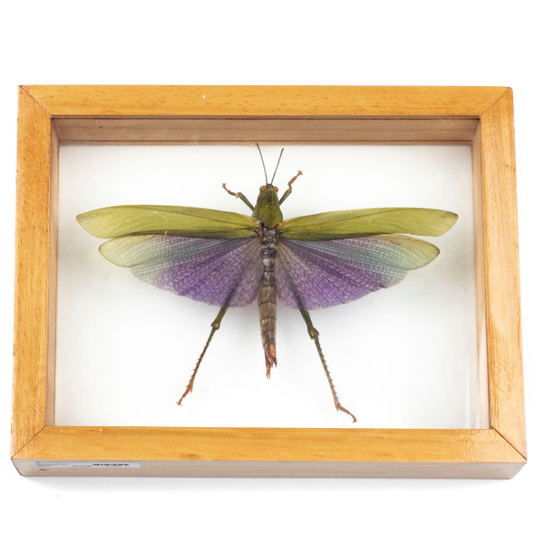 """Framed Grass Hopper Specimen - Double Paned 6.75x8.75"""" Light Wood Frame"""