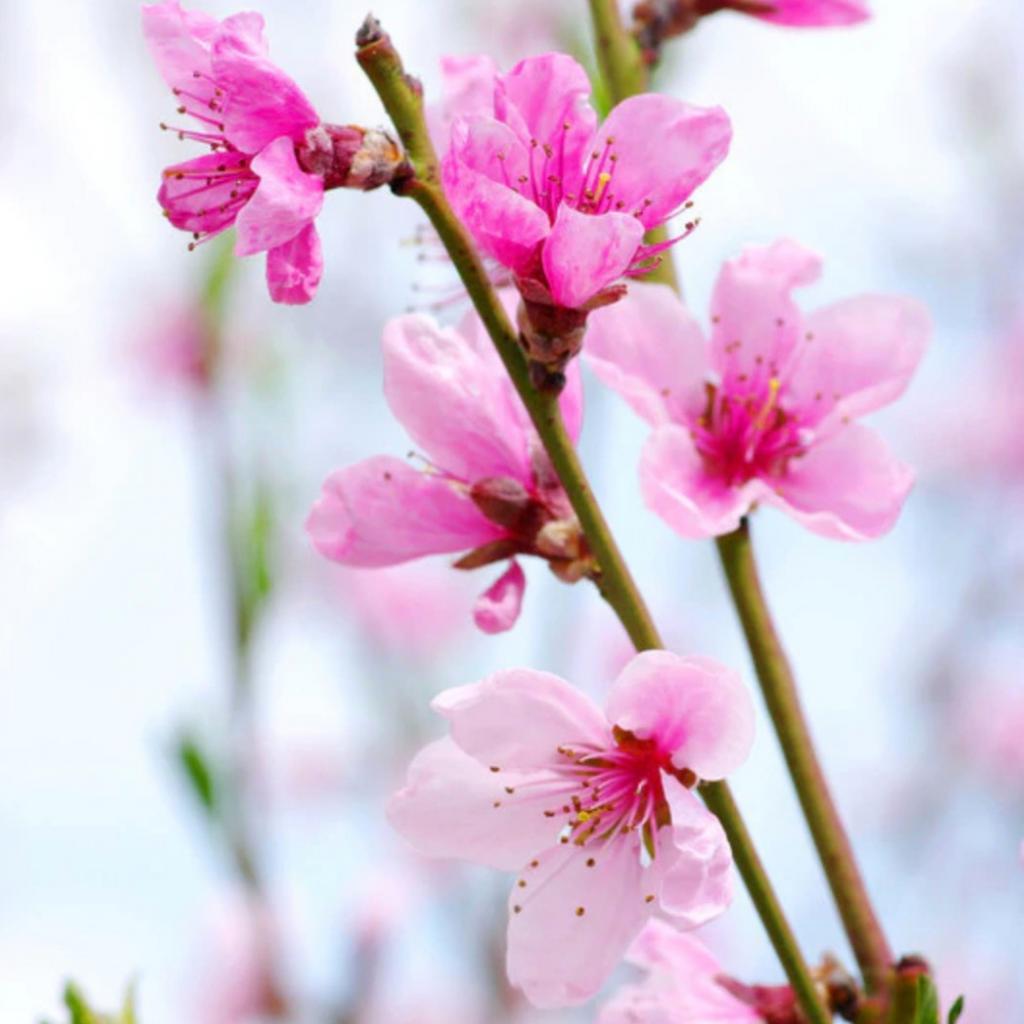 Apricot Flower Essence
