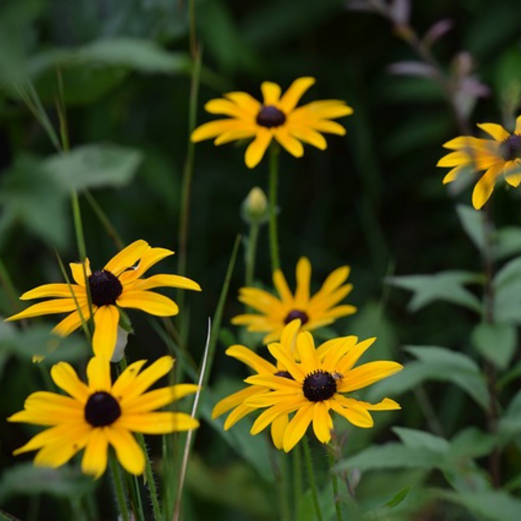 Black- Eyed Susan Flower Essence