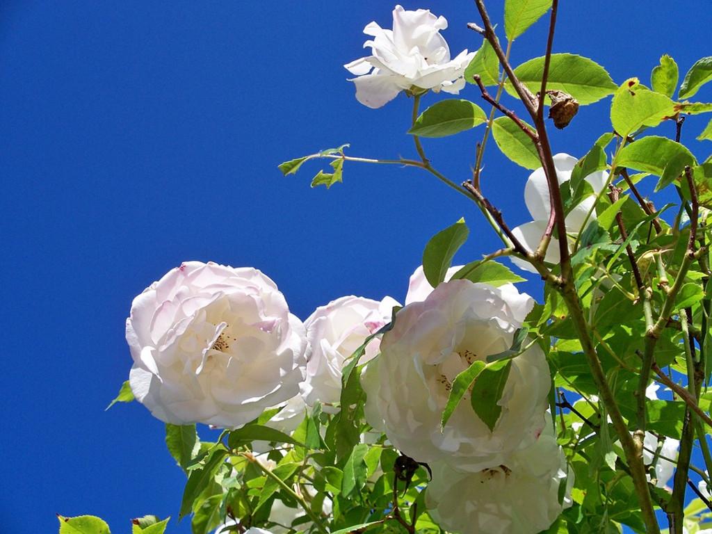Iceberg Rose Flower Essence