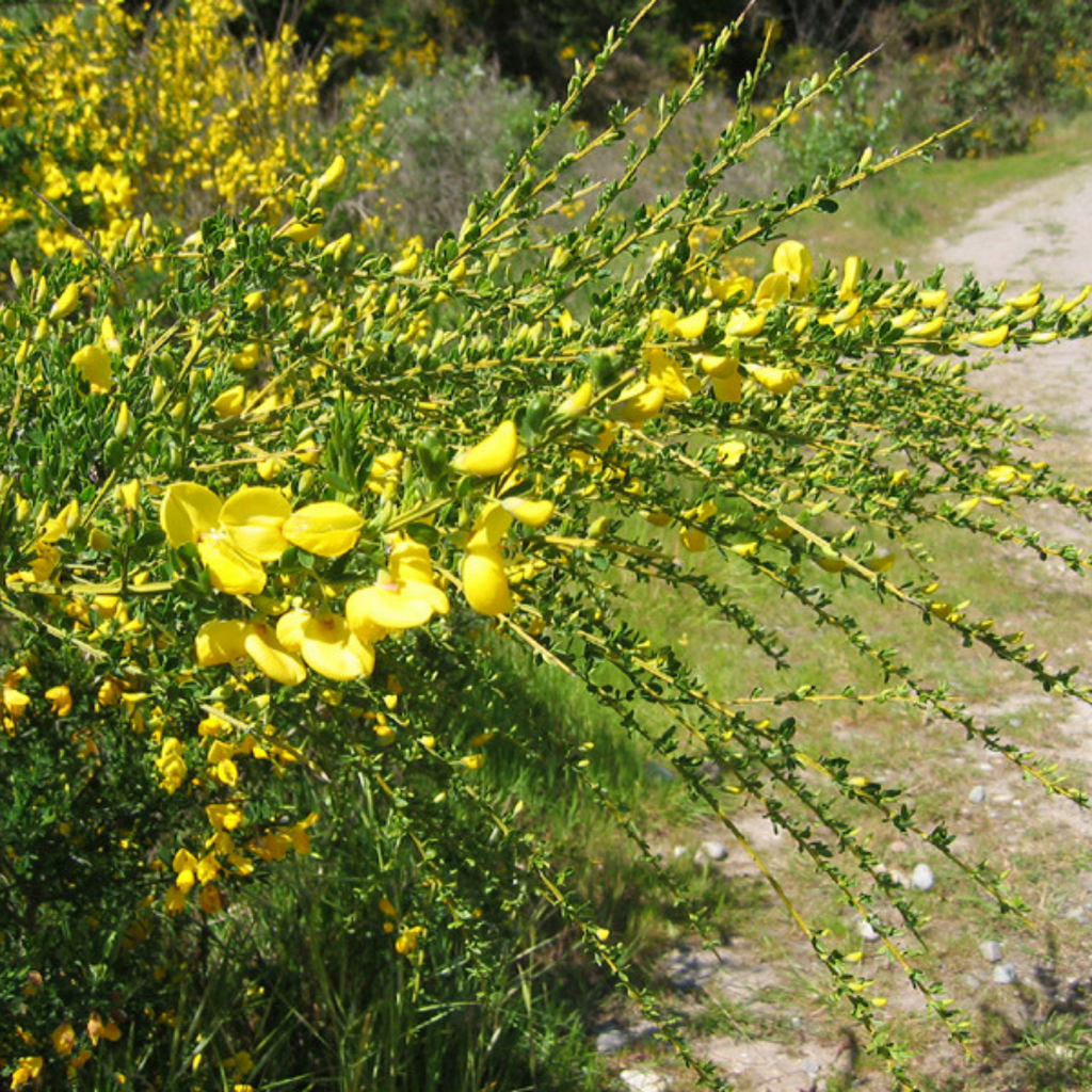 Scotch Broom Flower Essence