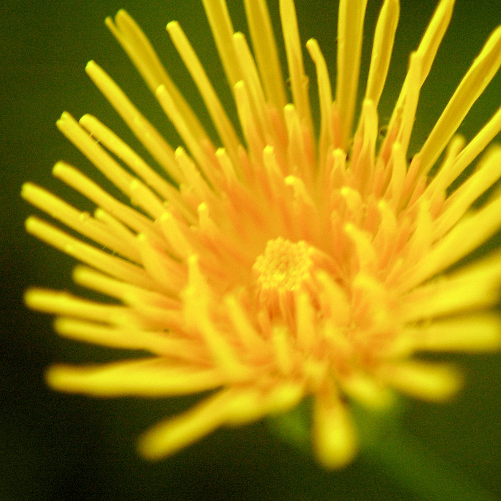 Sow Thistle Flower Essence