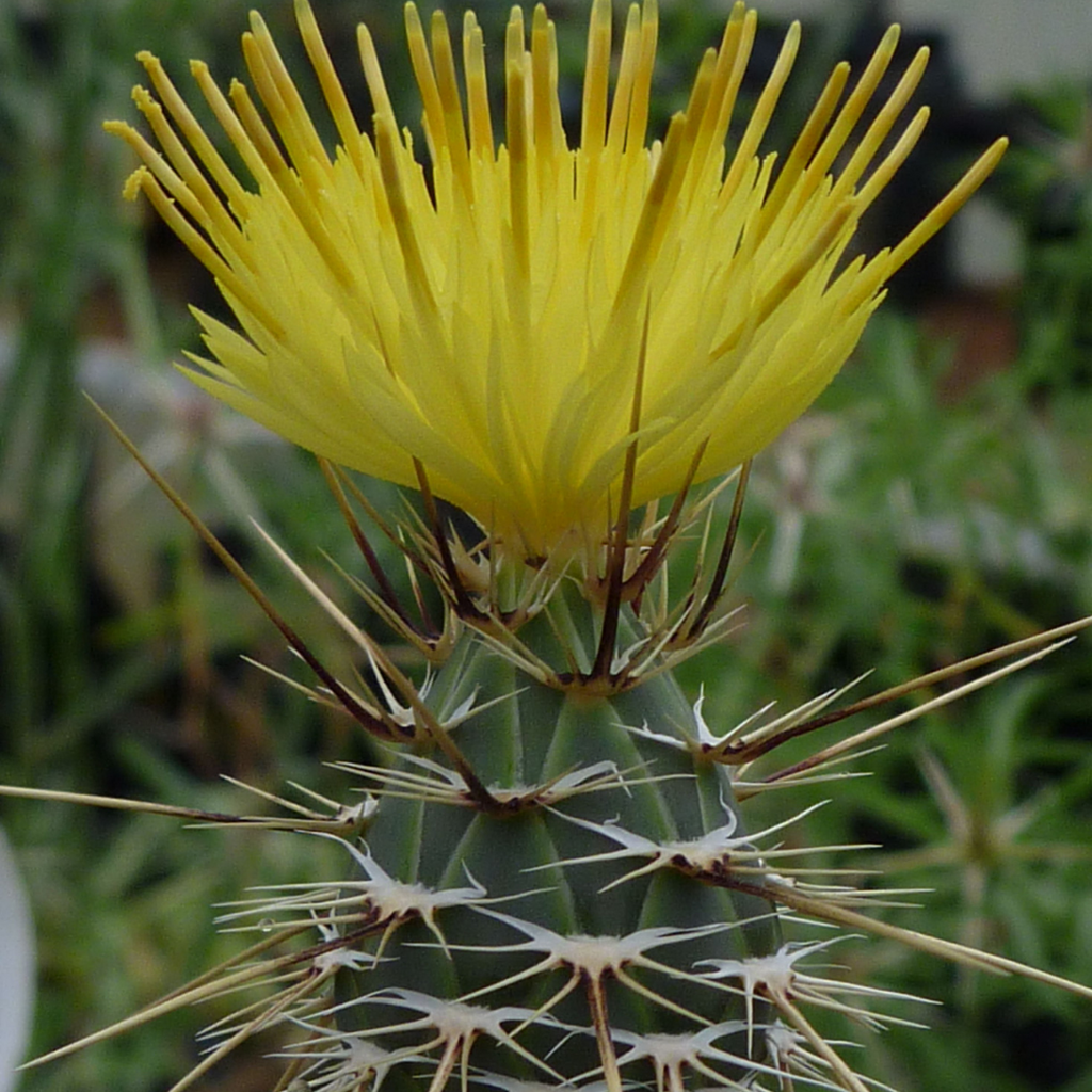 Star Thistle Flower Essence
