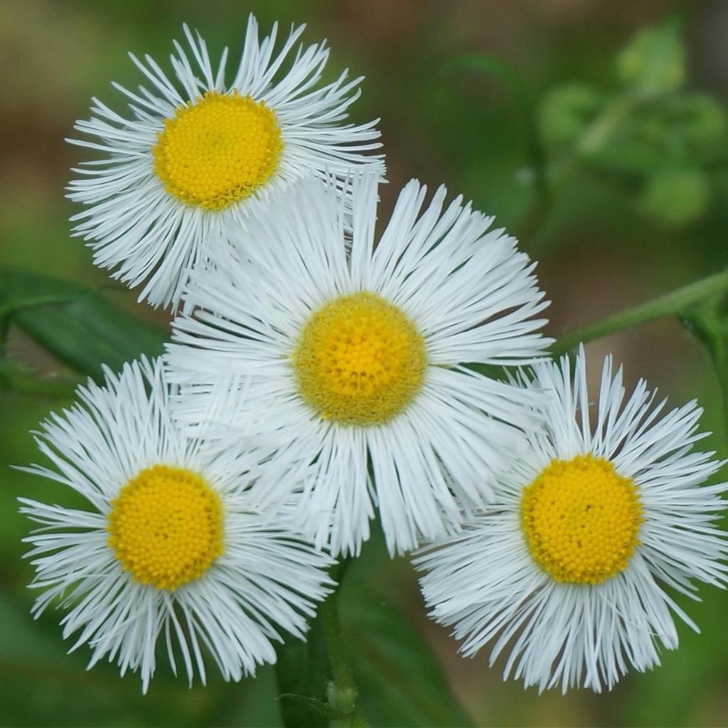 Fleabane Flower Essence