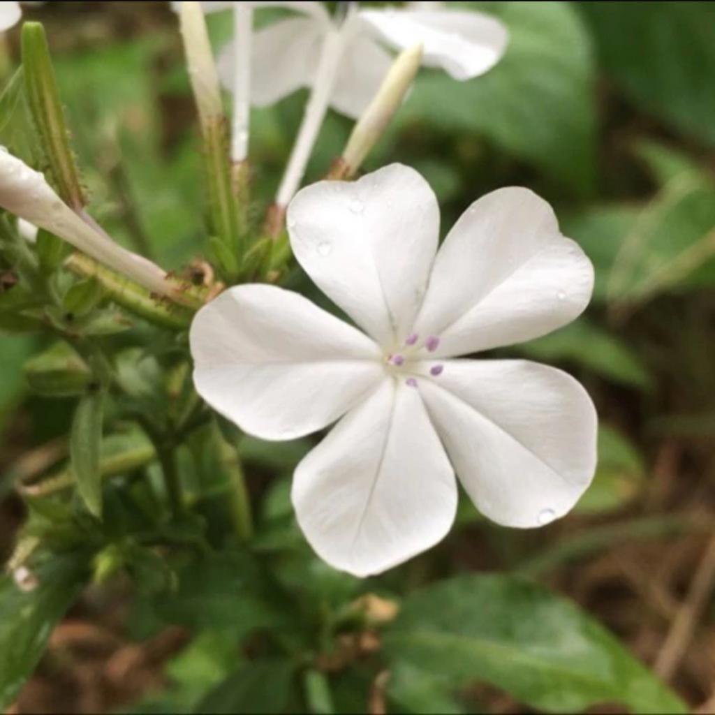 Plumbago Flower Essence