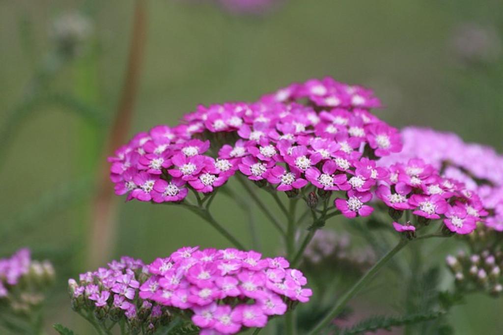 Pink Yarrow Flower Essence