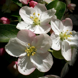 Apple blossom cluster