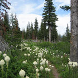 Cropped Bear Grass flowers in forest