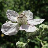 Cropped Blackberry Flower