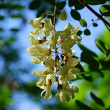 Black Locust flower panticle against blurred green and blue nature setting.