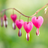 Bleeding Heart branch draping across a blurred garden background