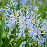 Cropped Camas Flower